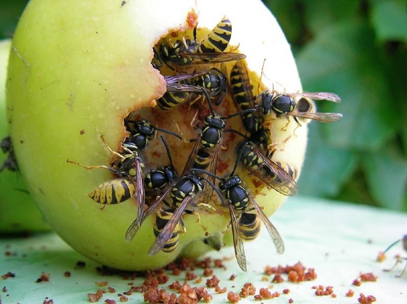 Fruchtschaedlinge Wespen