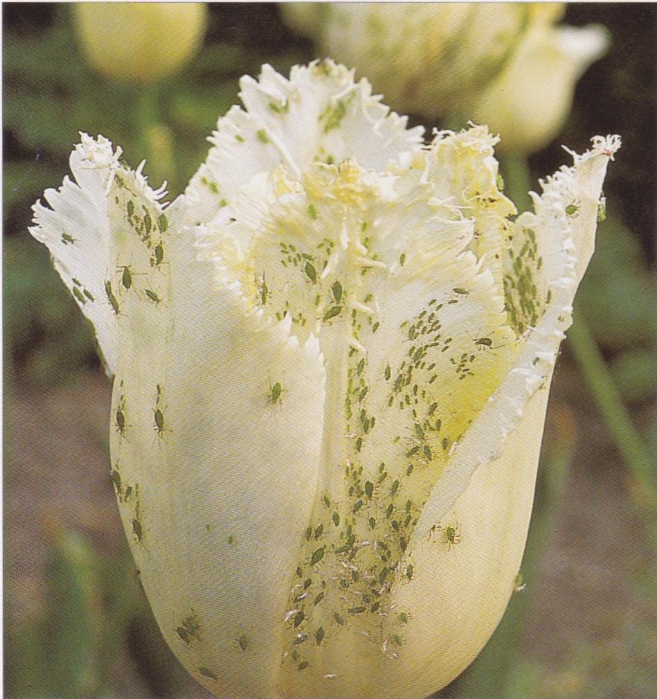 Blattlaus Blume
