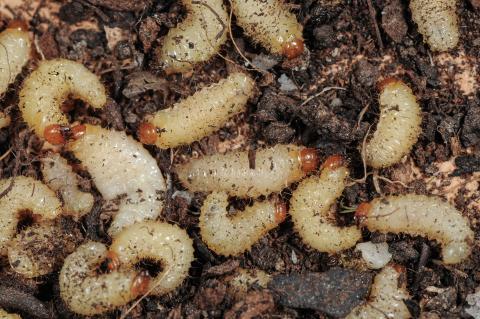 larven-dickmaulruessler