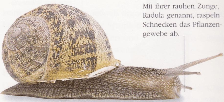 schnecke-radula-zunge