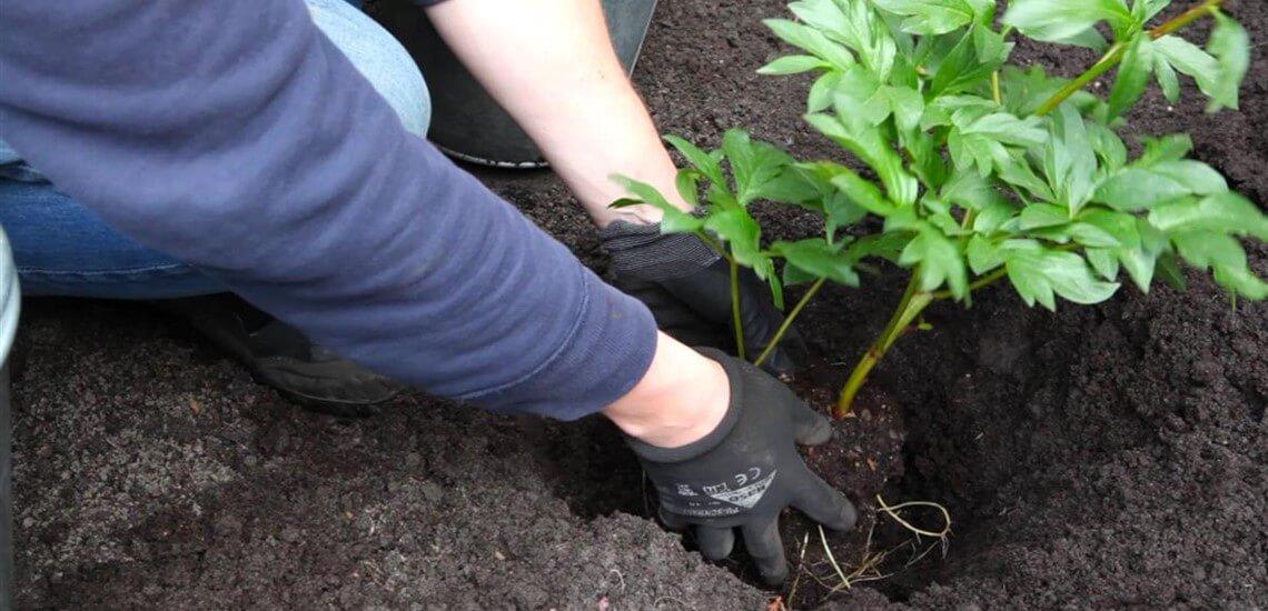 Pfingstrose - Einpflanzen im Garten