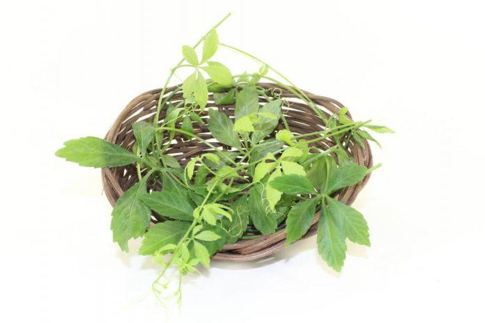 Jiaogulan Pflanze